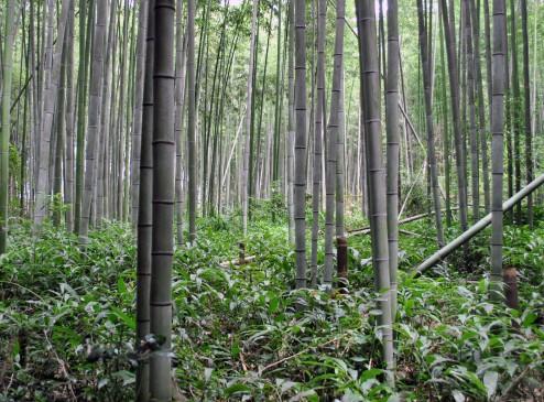 48_Bamboo_5